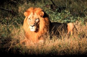 lion_swaziland